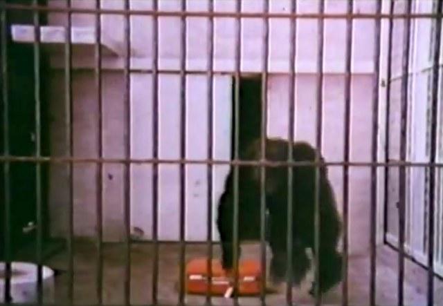 """El comercial """"Gorila"""" para las valijas American Tourister. Desde 1970 hasta 1985 en la pantalla."""